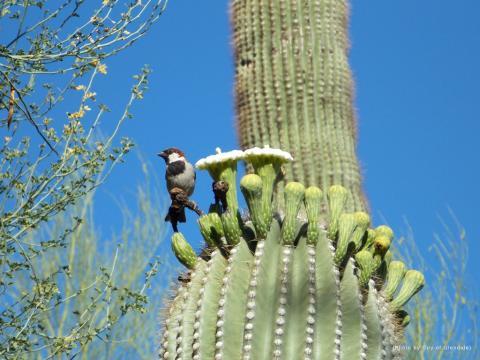House Sparrow on Saguaro Blossom